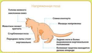 Как проявляется мочекаменная болезнь у кастрированных котов