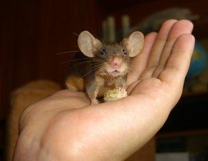 крысы, мыши