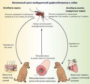 жизненный цикл дирофилярии