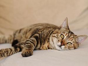 кошка гастрит