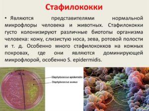 стафилококк