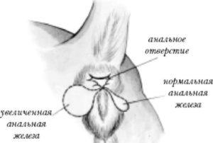 воспаление параанальных желез