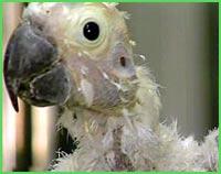 птичий грипп попугай