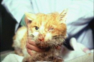 Что делать если у кошки вирусная лейкемия