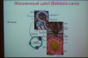 размножения цикл