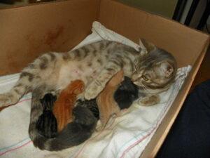 беременность и роды у кошки