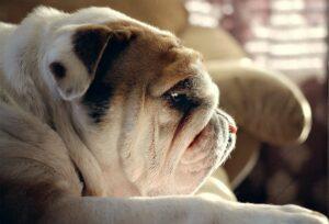 собака брахицефал