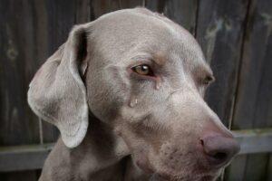 слезы собака