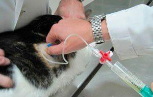 Пневмоторакс у кошек причины диагностика лечение