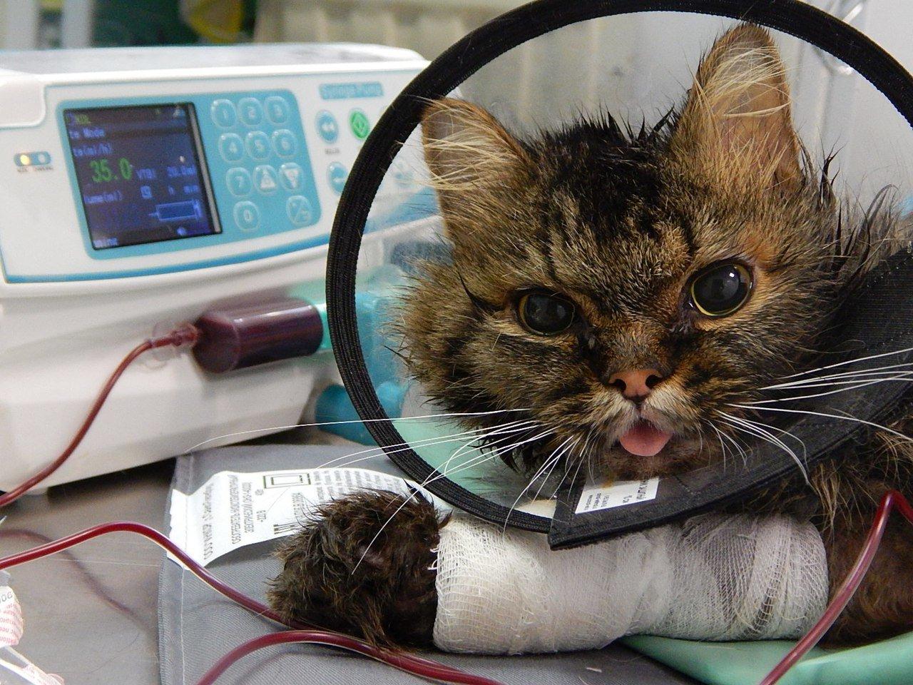 Генетические заболевания у кошек